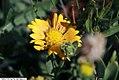 Gaillardia x grandiflora Summers Kiss 1zz.jpg