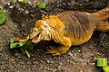 Galapagos Iguana 05.jpg