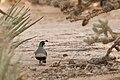 Gambel's quail (Callipepla gambelii) (16750987760).jpg