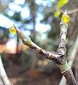 Gardenia gummifera 06.JPG