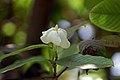 Gardenia resinifera.jpg