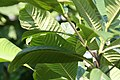 Gardenia sootepensis 5zz.jpg
