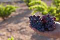 Garnache grape.jpg