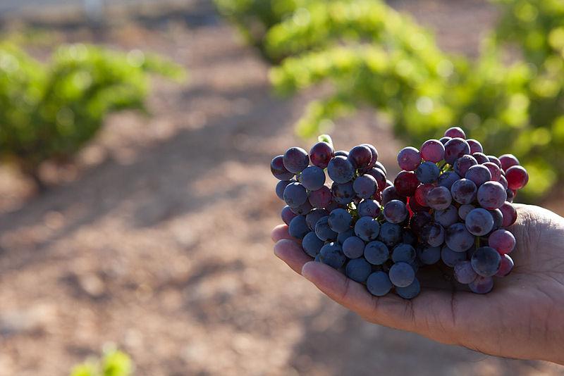 File:Garnache grape.jpg