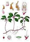 Gaultheria procumbens - Köhler–s Medizinal-Pflanzen-064.jpg