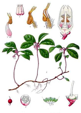 Gaultheria procumbens - 19th century illustration