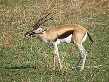 Gazella thomsonii Thomsons Gazelle in Tanzania 2573 Nevit.jpg