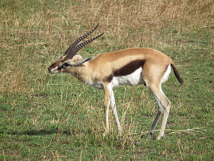 Gazelle marking grass with its preorbital gland Gazella thomsonii Thomsons Gazelle in Tanzania 2573 Nevit.jpg