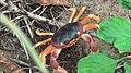 Gecarcinus lateralis (black-backed land crab) (San Salvador Island, Bahamas) 2 (15809536087).jpg