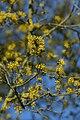 Gele kornoelje te Zwalm - 372222 - onroerenderfgoed.jpg