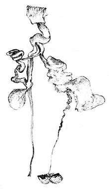 The uncoiled reproductive system of the slug, showing three blunt-ended sacs attached to one large duct and one much finer one