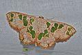 Geometrid Moth (Antitrygodes divisaria) (8093646448).jpg