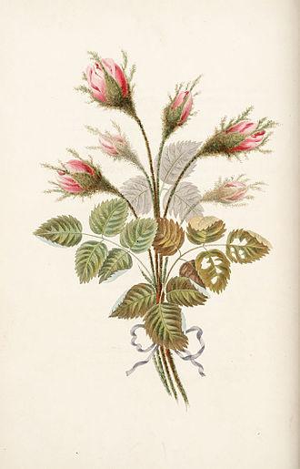 George Brookshaw - Moss Rose, 1817