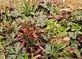 Geranium columbinum kz07.jpg