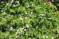 Geranium maculatum 13zz.jpg