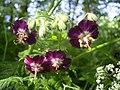 Geranium phaeum flowers.jpg