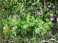 Geranium sanguineum sl14.jpg
