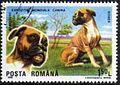 German-Boxer-Canis-lupus-familiaris Romania 1990.jpg