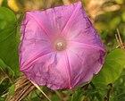 Gfp-violet-morning-glory.jpg