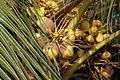 Ghana coconut.jpg