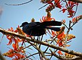Giant Cowbird Molothrus oryzivorus - Flickr - gailhampshire (1).jpg