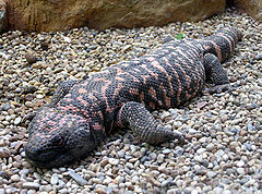 Gila.monster.arp.jpg