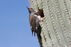 Gilded Flicker (Colaptes chrysoides) by nest hole in saguaro cactus.jpg