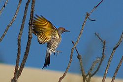 Gilded Flicker (Colaptes chrysoides) in flight.jpg