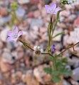 Gilia scopulorum 1.jpg