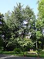 Ginkgo biloba im Botanischen Garten Gießen 01.JPG