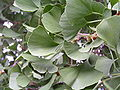 Ginkgo biloba in Lucenec4.jpg