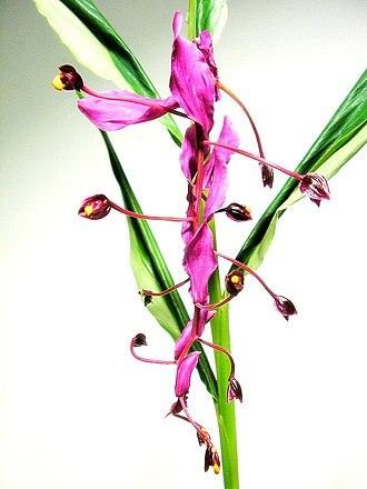 Zingiberaceae - Globba inflorescence.