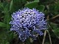Globularia - Flores de los Pirineos (10510656975).jpg