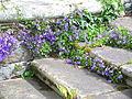 Glockenblumen Bodnant Garden 2.JPG