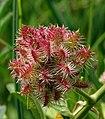Glycyrrhiza echinata L. - čekinjasti sladić.jpg
