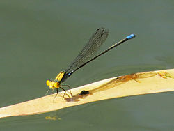 Gold-fronted riverdamsel 0258.jpg