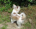 Golddust Yorkshire Terrier 8 Monate.jpg
