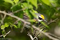Golden-winged Warbler (male) Sabine Woods TX 2018-04-26 08-12-26 (42090528791).jpg