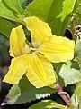 Goodenia ovata flower close-up.jpg
