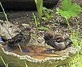 Gråsparv House Sparrow (20342639292).jpg