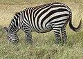 Grant's Zebra, pregnant again, Serengeti.jpg