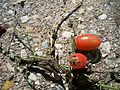 Grape Tomatoes on Patio.JPG