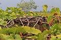 Grape fields of Theni.jpg