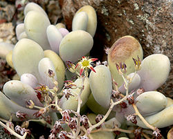 Graptopetalum amethystinum