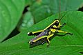 Grasshopper Nymph (7079232709).jpg