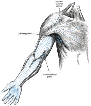 Axillary lymph nodes - Image: Gray 606