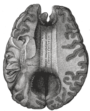 Supracallosal gyrus - Corpus callosum from above.