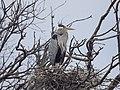 Great Blue Heron (34090983514).jpg