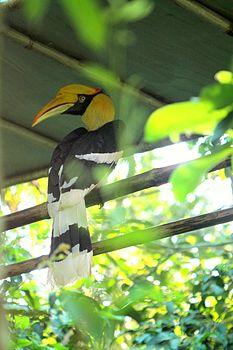 Great Indian Hornbill at Nagaland Zoological park.jpg