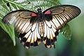 Great Mormon Butterfly 25 (4871838853).jpg